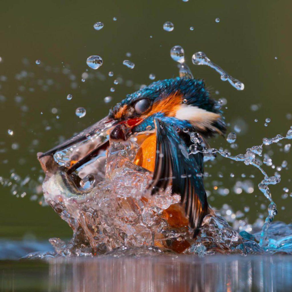 Pássaro dando um rasante na água.